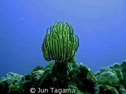 Lonely feather star - Yellow Crinoid (Oxycomanthus bennetti) by Jun Tagama 
